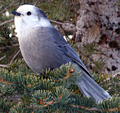 Mountain Jay