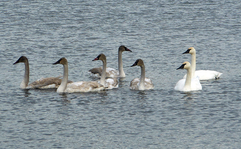 Saw this family of swans on Beauvais Lake west of Pincher Creek. We are seeing a lot of migrating swans right not.