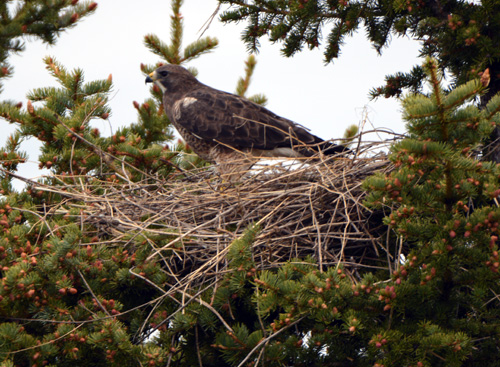 Swainson's Hawk - new nest for 2016.