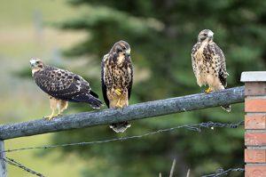 Hawk Chicks off Nest
