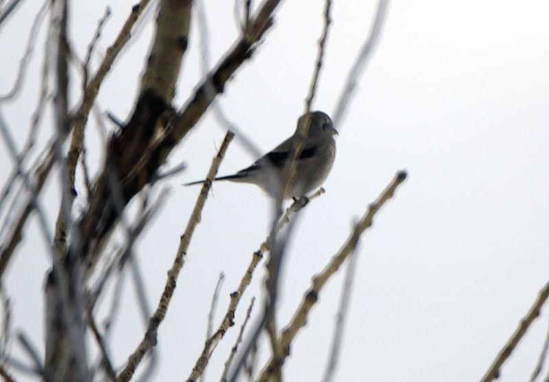 Nov 23 - Northern Shrike