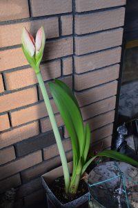 Beautiful Amaryllis