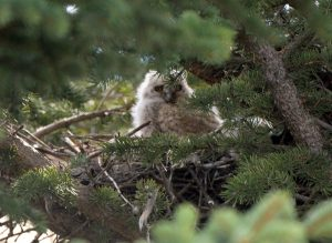 Baby Owl & Waterton