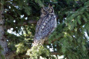 Last post on baby owl's progress.