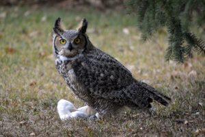 Owl's Catch