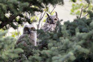 Owlets Branching